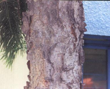 ine南洋杉 针叶类乔木.大多数较年老的树因不断受飓风的破坏而不对称.